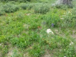 lost man wildflowers  july 2013