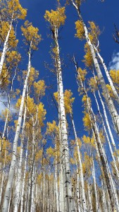 aspens on West Snowmass creek trail